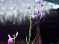 IMG_1601-orchids-2
